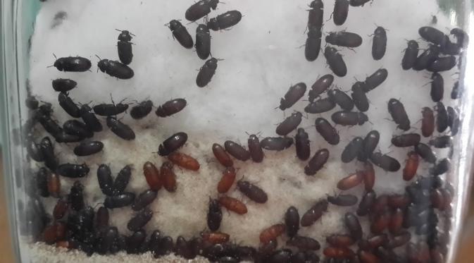 bahaya semut kutu jepang